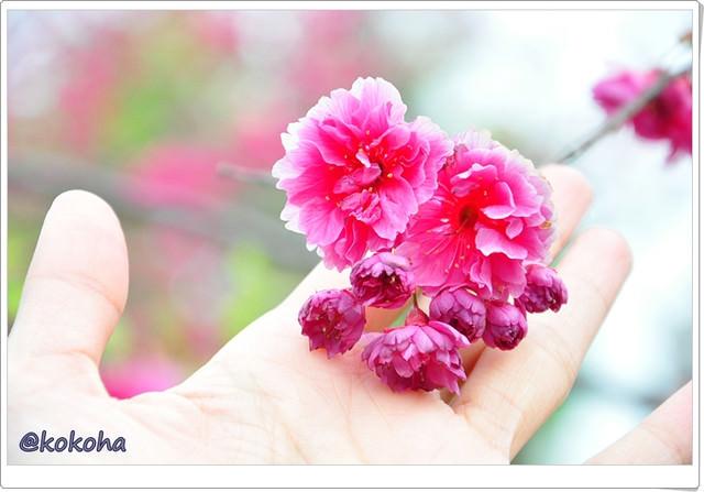 【台中旅遊】浪漫櫻花處處開