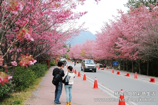 【台中旅遊】來去武陵農場瘋櫻花~不用到日本也有櫻吹雪的美景