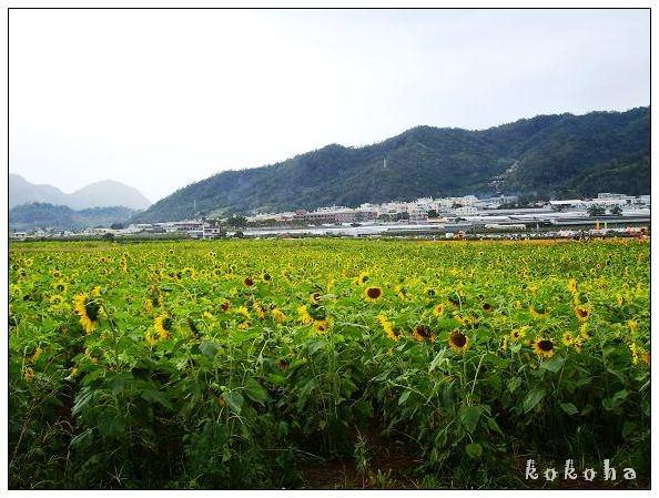 《台中》2008新社花海