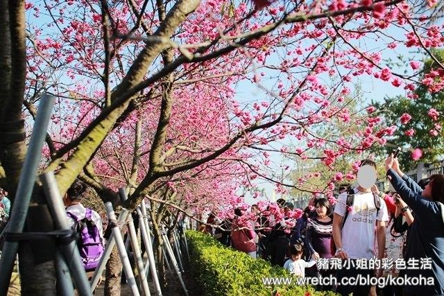 【彰化旅遊】芬園櫻花林~免費賞櫻花囉